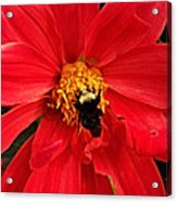 Red Flower And Bee Acrylic Print
