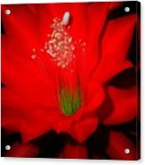 Red Flower For You Acrylic Print