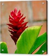 Red Flower IIi Acrylic Print