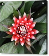 Red Flower With White Tips Acrylic Print