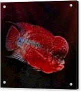 Red Flowerhorn Cichlid Acrylic Print