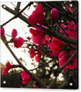 Red Flowers At Sunset Acrylic Print