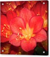 Multiple Red Flowers In Bloom Acrylic Print