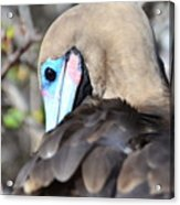 Red Footed Booby Acrylic Print