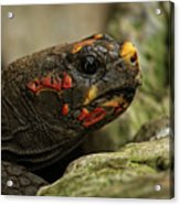 Red-footed Tortoise Acrylic Print