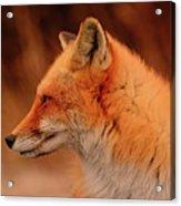 Red Fox 2 Acrylic Print