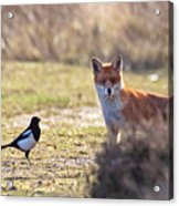 Red Fox And Magpie Acrylic Print