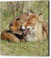 Red Fox Cub Love Acrylic Print