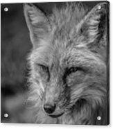 Red Fox In Black And White Acrylic Print