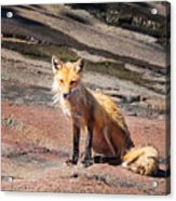 Red Fox In Maine Acrylic Print
