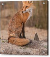 Red Fox In Pose Acrylic Print
