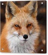 Red Fox In Winter Ruff Acrylic Print