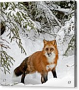 Red Fox In Winter Acrylic Print