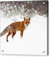 Red Fox In Winter Wonderland Acrylic Print