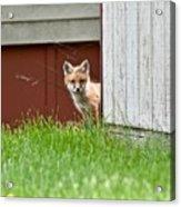 Red Fox Kit Peaking Around Old Barn Acrylic Print