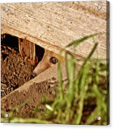 Red Fox Kit Peaking Out From Den Under Old Granary Acrylic Print
