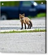 Red Fox Kit Standing On Old Road Acrylic Print