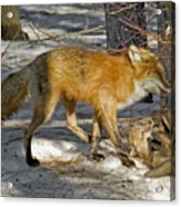 Red Fox Mommy And The Cutest Puppy Acrylic Print