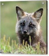 Red Fox Morph Acrylic Print