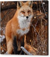 Red Fox Pausing Atop Log Acrylic Print by Max Allen