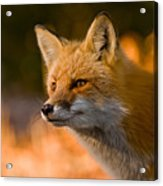 Red Fox Pictures 118 Acrylic Print