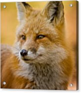 Red Fox Pictures 131 Acrylic Print