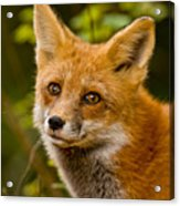 Red Fox Pictures 155 Acrylic Print