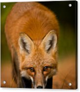 Red Fox Pictures 161 Acrylic Print