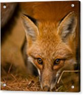Red Fox Pictures 162 Acrylic Print