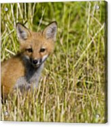 Red Fox Pictures 19 Acrylic Print