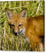 Red Fox Pictures 34 Acrylic Print