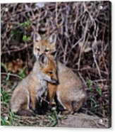 Red Fox Pictures 65 Acrylic Print