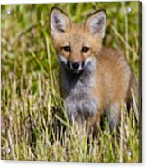 Red Fox Pictures 7 Acrylic Print
