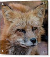 Red Fox Portrait 2 Acrylic Print
