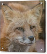 Red Fox Portrait Acrylic Print