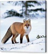 Red Fox Vulpes Vulpes Portrait Acrylic Print