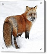 Red Fox Winter Acrylic Print