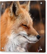 Red Fox With Ice Formed On Brow Acrylic Print