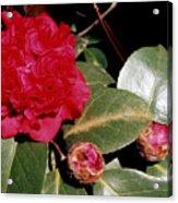 Red Frilly Camillia Acrylic Print