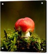 Red Fungus Acrylic Print