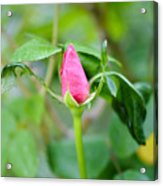 Red Garden Rose Bud Acrylic Print