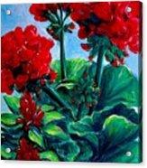 Red Geraniums Acrylic Print