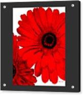 Red Gerber Border     Digital Art  Acrylic Print