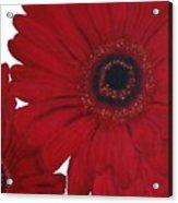 Red Gerber Daisy Acrylic Print by Marsha Heiken