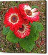 Red Gerbera Daisies Acrylic Print