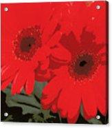 Red Gerberas Acrylic Print