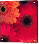 Red Gerbers Acrylic Print