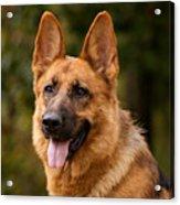 Red German Shepherd Dog Acrylic Print