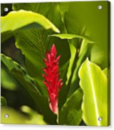 Red Ginger Flower Acrylic Print