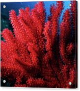 Red Gorgonian Sea Fan With Abundance Of Tentacles Acrylic Print by Sami Sarkis